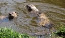 Local wildlife - River Otter