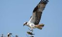 Local wildlife - Osprey