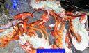 L243. Lobster again
